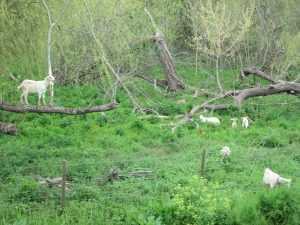 Castelo Branco Cabras à vista